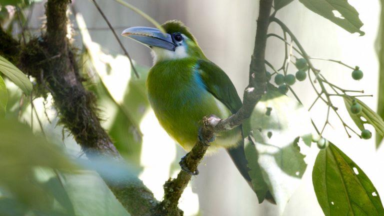 oiseau exotique à bandes bleues