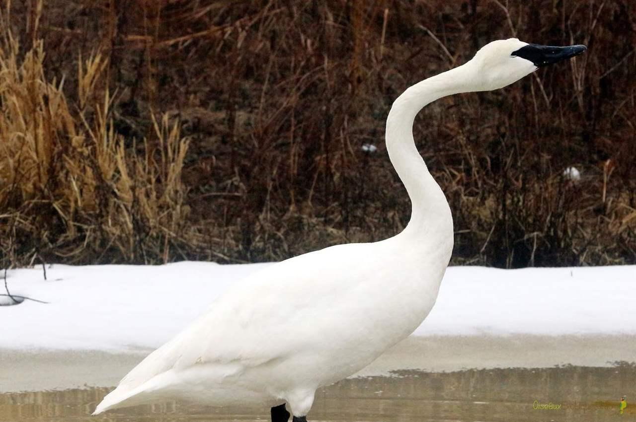Trumpeter-Swan_oiseaux-exotiques