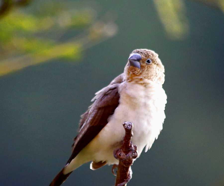 Euodice cantans - African Silverbill