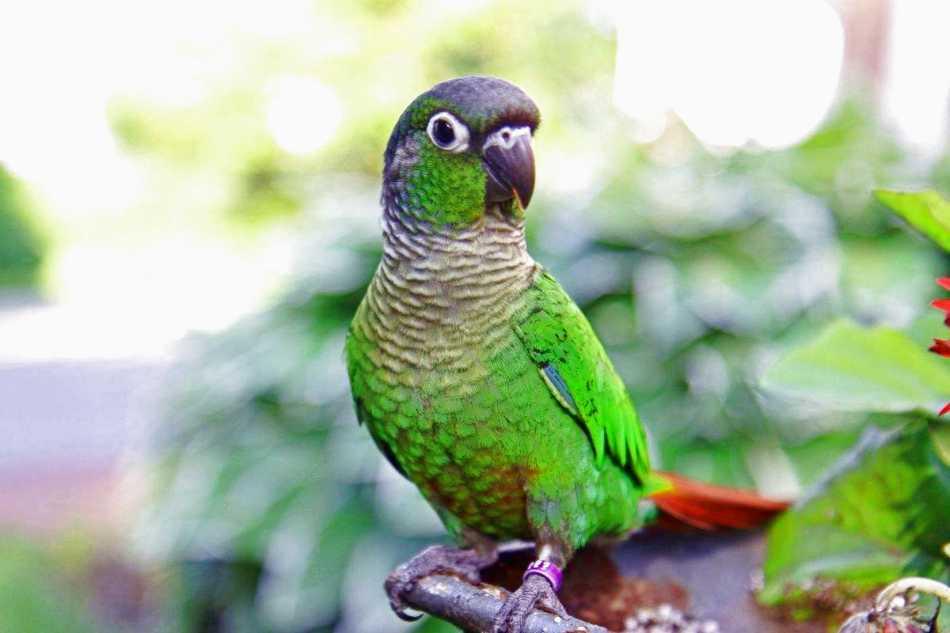 Pyrrhura molinae - Green-cheeked Parakeet