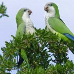 Myiopsitta monachus - Monk Parakeet