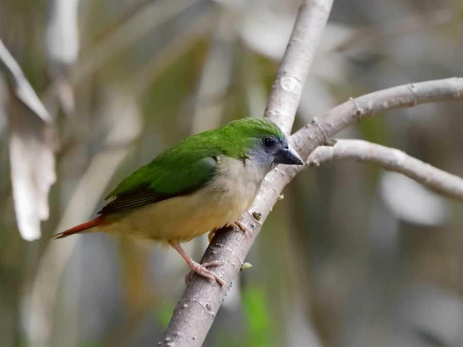 Erythrura prasina - Pin-tailed Parrotfinch