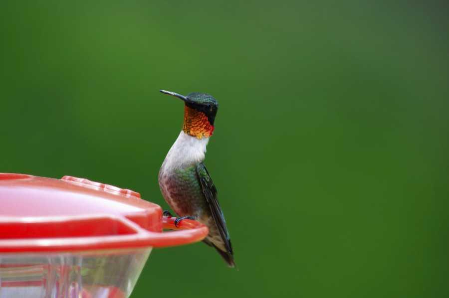 Le Colibri à gorge rubis (Archilochus colubris)