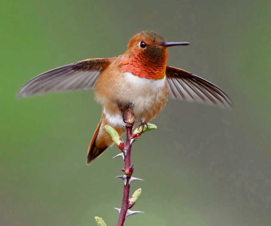 Le Colibri roux (Selasphorus rufus) est une espèce d'oiseaux