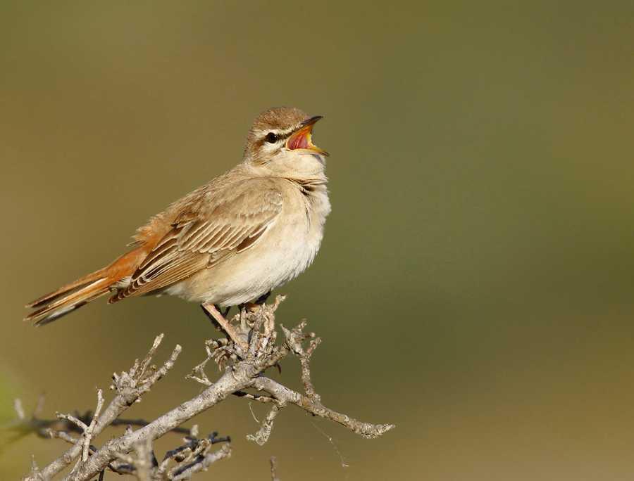 Larvivora sibilans - Rufous-tailed Robin