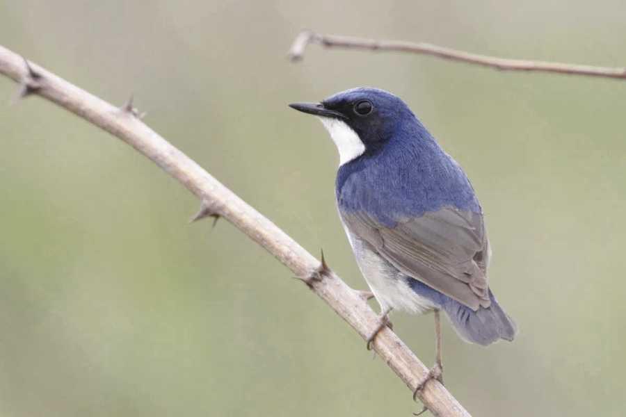 Larvivora cyane - Siberian Blue Robin