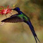 Le Colibri hirondelle (Eupetomena macroura)