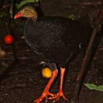 Talegalla cuvieri - Red-billed Brushturkey