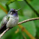 Le Colibri à tête violette (Klais guimeti)